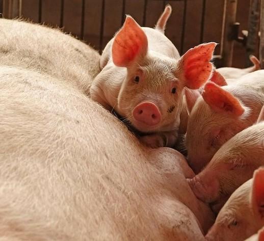 2020年まで豚肉不足、アフリカ豚コレラ影響,豚コレラ,豚肉,感染症